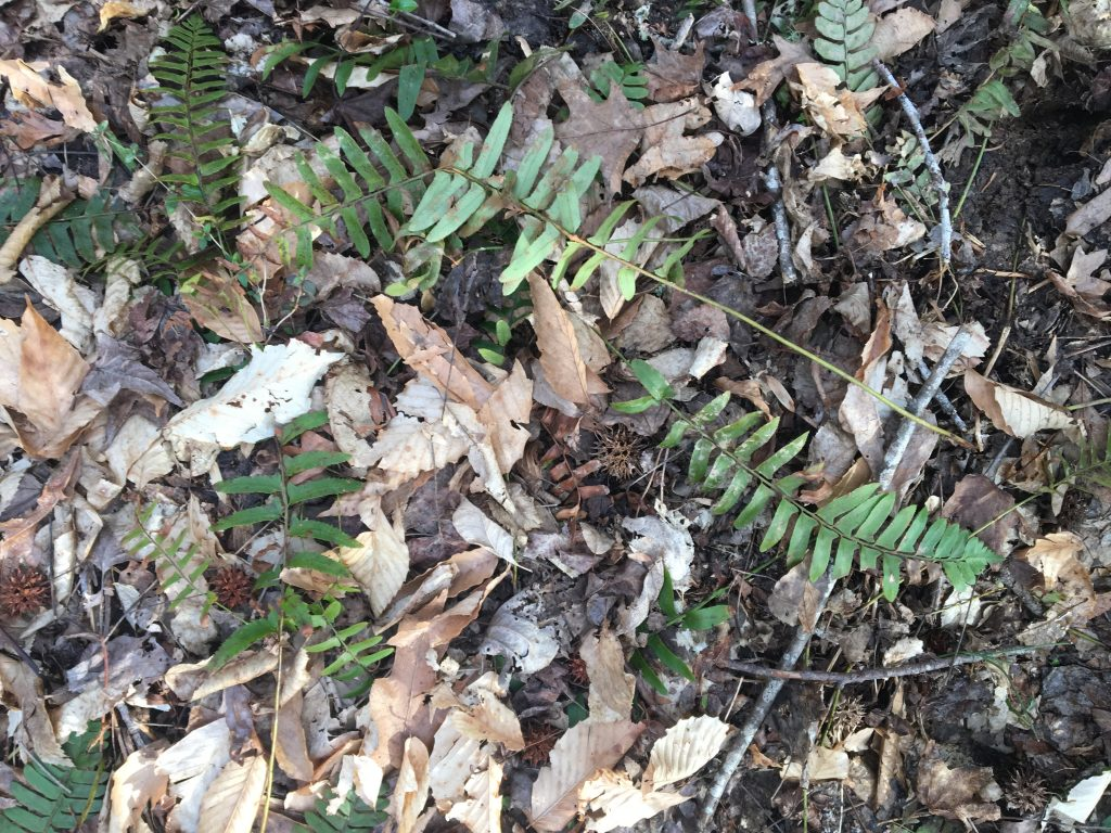 Picture of the ground at a park with different colored leaves and spikey balls. There are also small twigs among the green leaves.